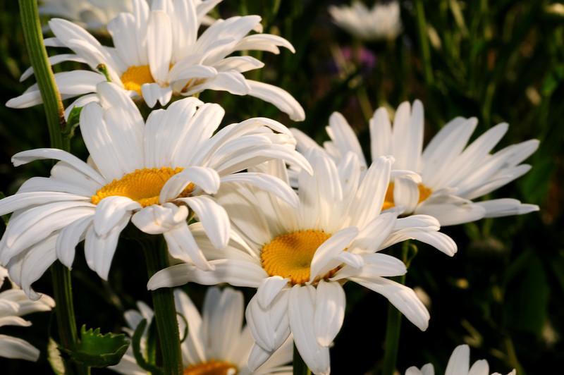 Daisy Kingdom