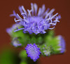 I don't know what these are, other than gorgeous. <br /> <br /> UPDATE: It has been suggested these are Blue Ageratum.