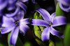 D300 hyacinth