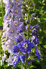 my delphiniums