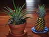 Pineapple Success!