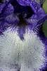 first iris of the season