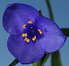 My first spiderwort!!!