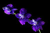 Lovely Larkspur