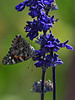 painted lady on blue bedder
