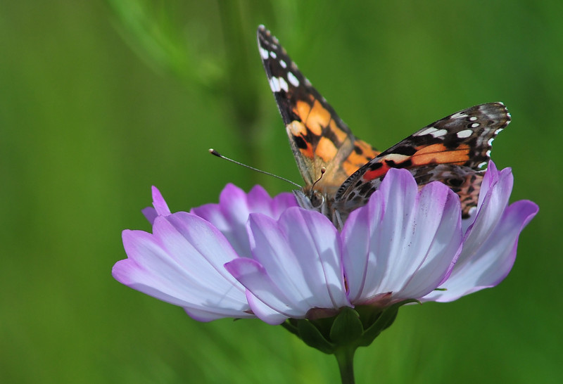 painted lady on cosmos