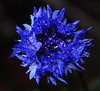 first cornflower of the season
