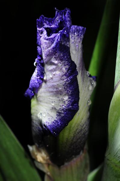 iris season approaches