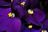 indoor African violet