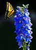 My Butterfly Delphinium