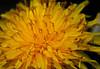 dandelion in a whole new light