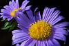 indoor daisies