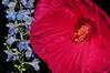 hibiscus and delphinium