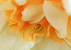 daffodil visitor