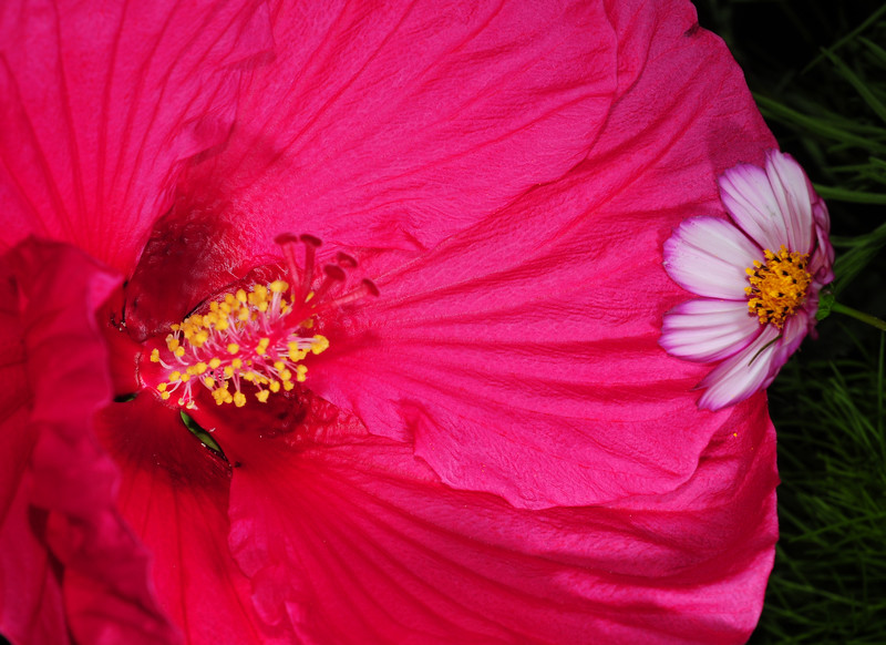 hibiscus and cosmos