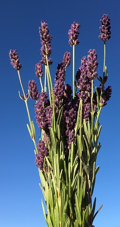 lavender clipped