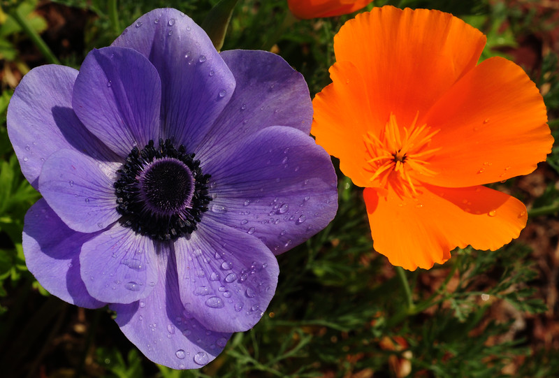 windflower and poppy