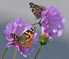 painted ladies and cosmos