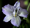 a different shade of larkspur