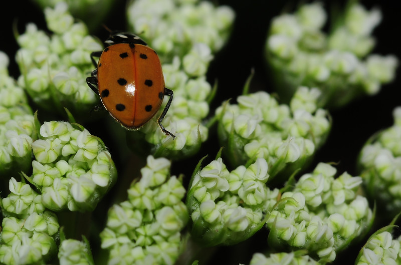 ladybug on onion going to seed