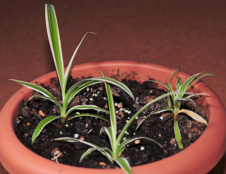 baby spider plants