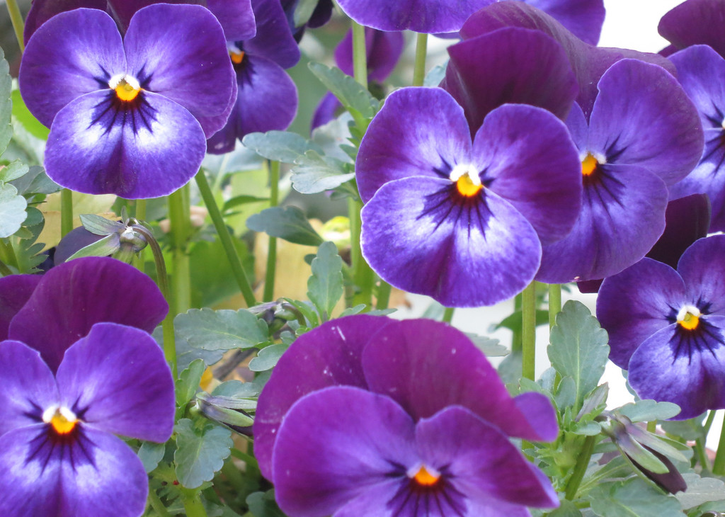 Pansies at Attenion