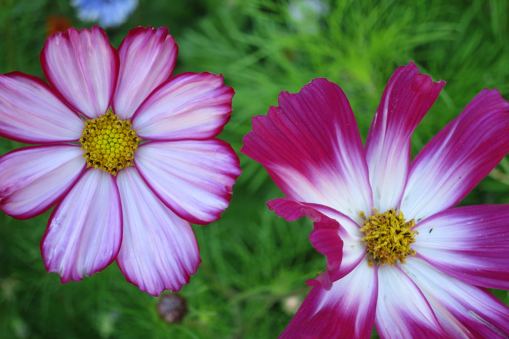 Striped Cosmos - 2013