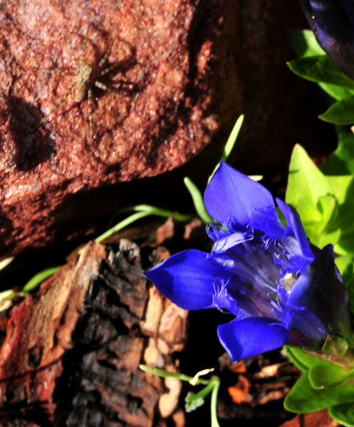 mountain gentians don't mind snow, or spiders