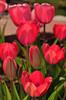 my tulip garden