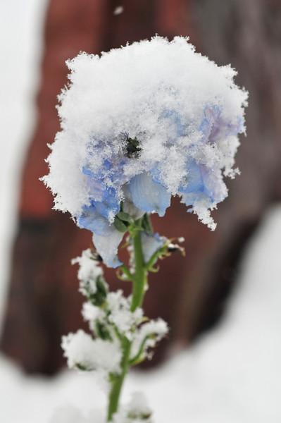 frosty delphinium