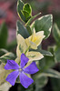 evergreen periwinkle