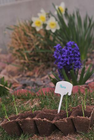 peas, hyacinth and daffodils