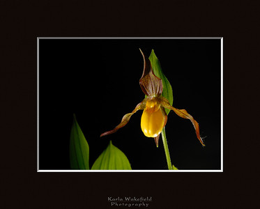 Lady's Slipper (Cypripedium parviflorum)