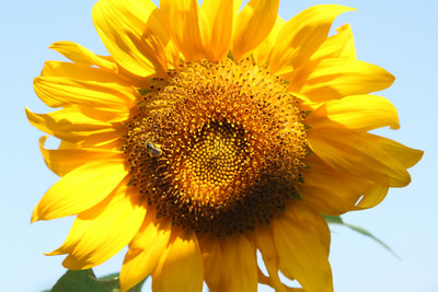 Sunflowers  July 6, 2010