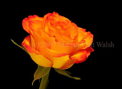 20090427-Erbe Rose-023-Edit