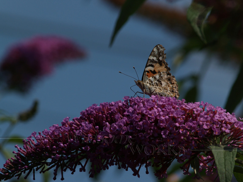 Painted Lady (Vanessa cardui) on Butterfly Bush