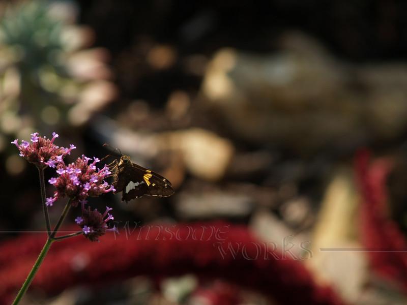 American Snout?? (not sure of I.D.) on Purpletop vervain ( Verbena bonariensis )