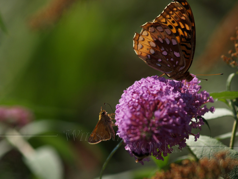 female great spangled fritillary (Speyeria cybele) on butterfly bush, with a smaller butterfly friend