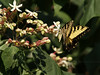 Male Eastern Tiger Swallowtail (Papilio glaucus)