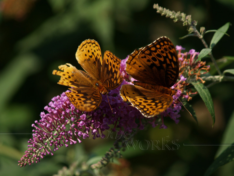 male & female great spangled fritillaries (Speyeria cybele) on butterfly bush