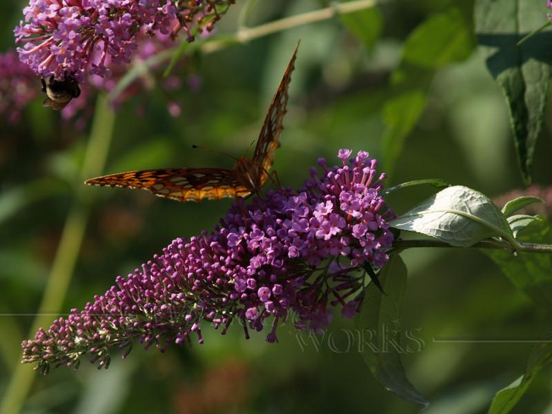 great spangled fritillary (Speyeria cybele) on butterfly bush