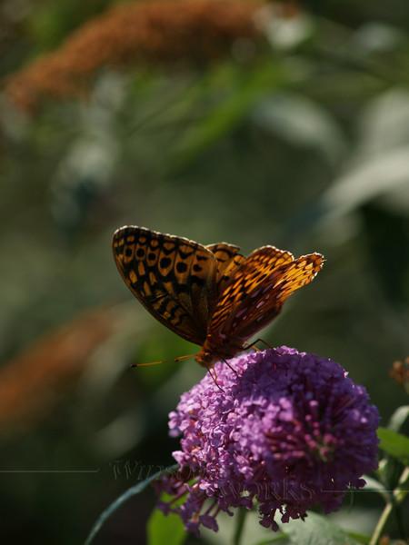 female great spangled fritillary (Speyeria cybele) on butterfly bush