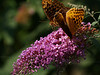 great spangled fritillaries (Speyeria cybele) on butterfly bush