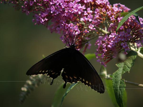 black swallowtail on butterfly bush