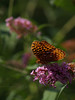 male great spangled fritillary (Speyeria cybele) on butterfly bush