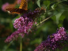 great spangled fritillary (Speyeria cybele) on butterfly bush