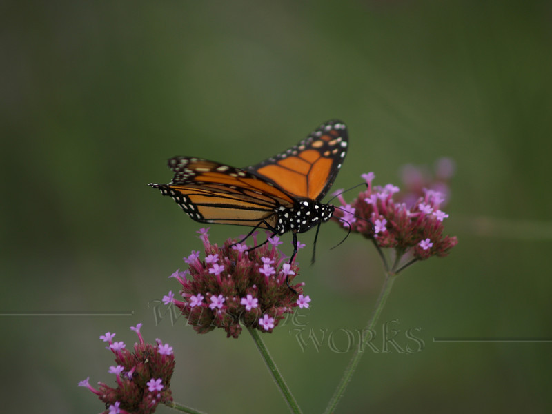 Monarch on Purpletop vervain ( Verbena bonariensis )