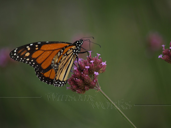 Monarch on Purpletop vervain ( Verbena bonariensis )