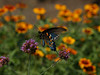 Pipevine Swallowtail (Battus philenor) on Purpletop vervain ( Verbena bonariensis )