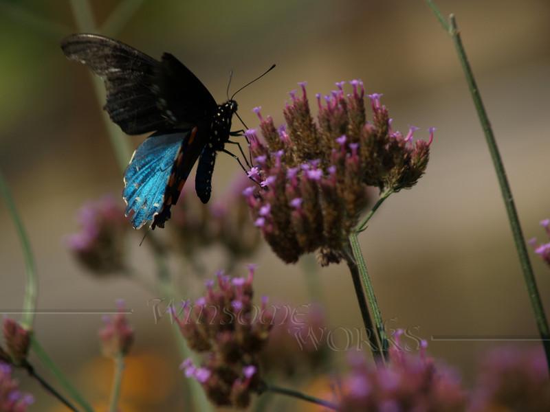 Male pipevine swallowtail (Battus philenor) on Purpletop vervain ( Verbena bonariensis )